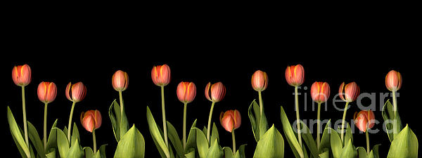 Orange Tulips Print by Jacqui Martin