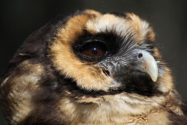 Owl Print by Paulette Thomas