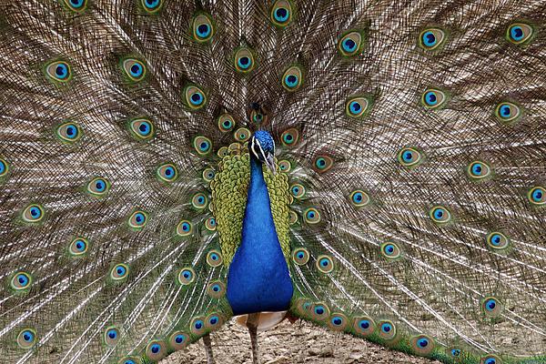 Corey Haynes - Peacock