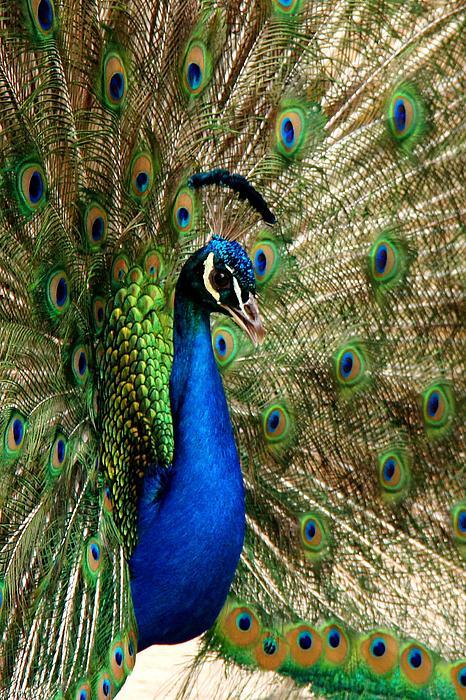 Peacock Splendor Print by Phil Huettner