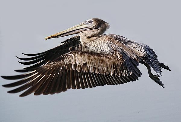 Pelican In Flight Print by Paulette Thomas