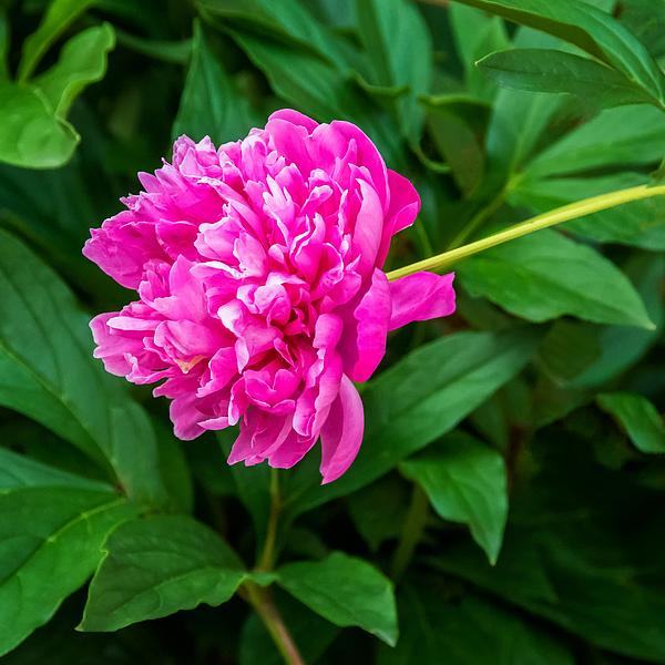 Peony Print by Steve Harrington