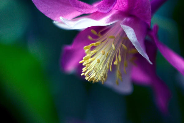 Pink And White Columbine Flower Print by RM Vera