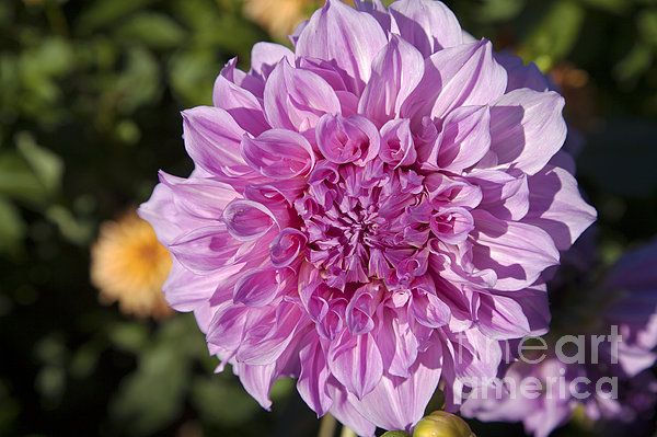 Pink Dahlia Print by Peter French