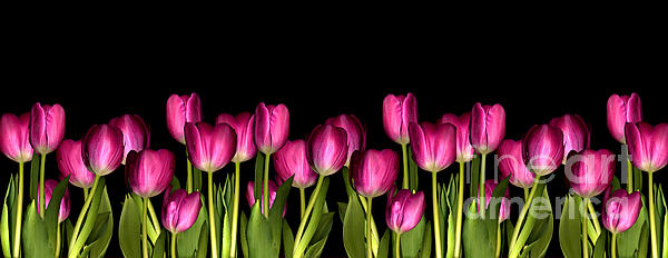 Pink Tulip Print by Jacqui Martin