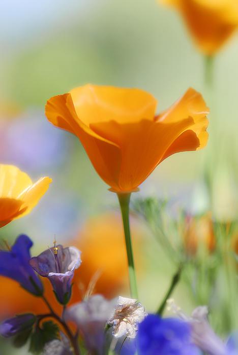 Saija  Lehtonen - Poppies and Bluebells