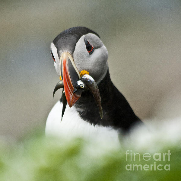 Heiko Koehrer-Wagner - Puffin with fish
