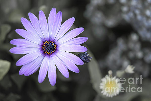 Purple Daisy Print by Design Windmill