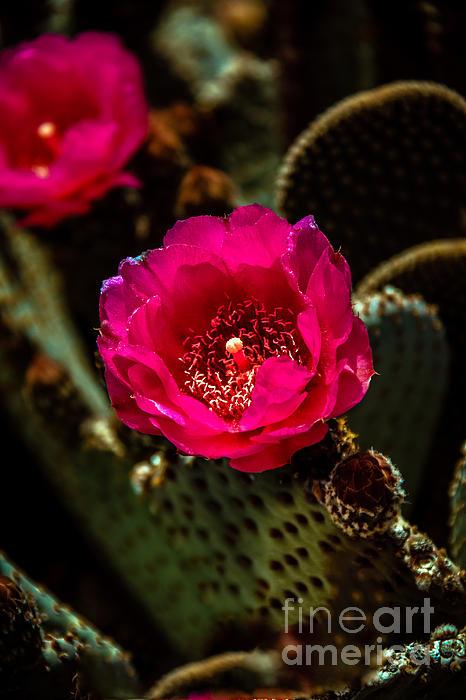 Robert Bales - Red Beavertail Cactus