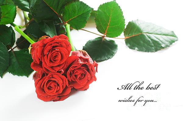 Red Fresh Roses On White Print by Michal Bednarek