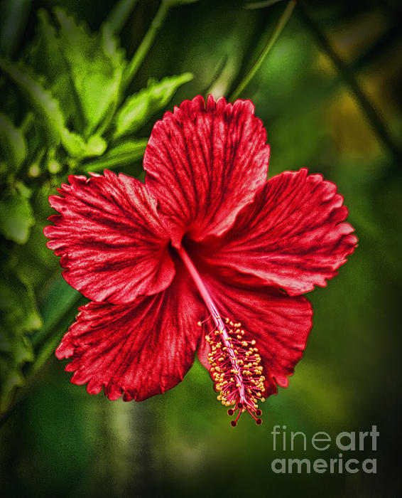 Red Hibiscus Print by Wendy Townrow