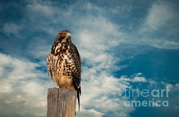 Robert Bales - Red-tailed Hawk