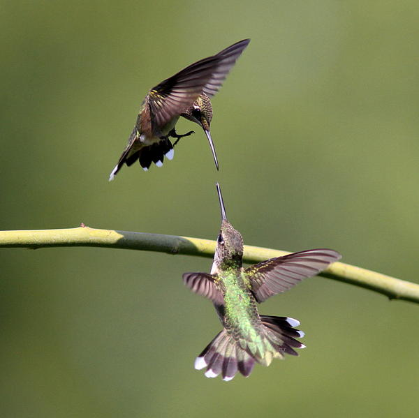 Travis Truelove - Ruby-throated Hummingbird