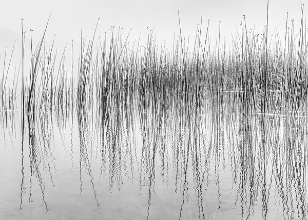 Dee Browning - Black and White image of reflecting water plants
