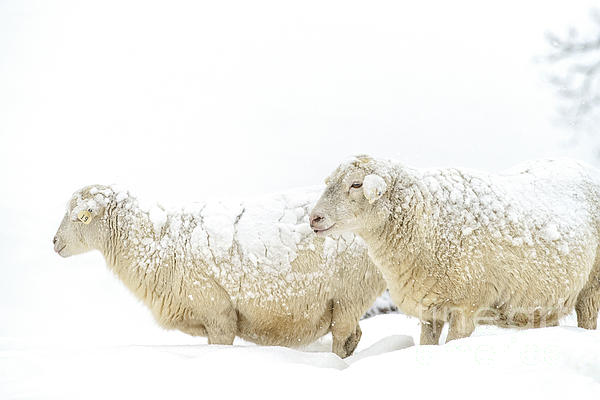Thomas R Fletcher - Sheep in Snow