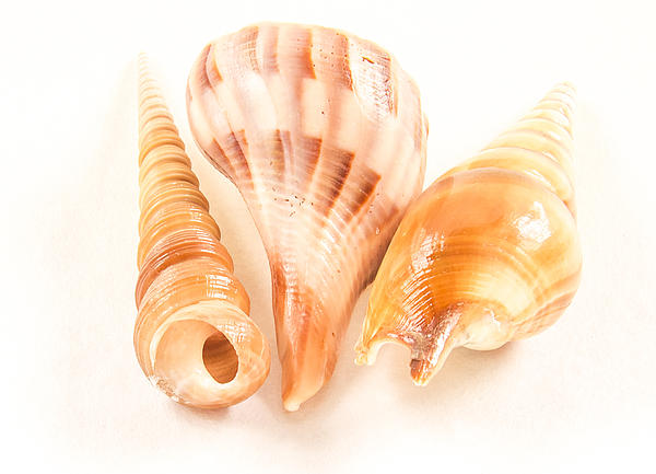 Shell Trio Print by Jean Noren