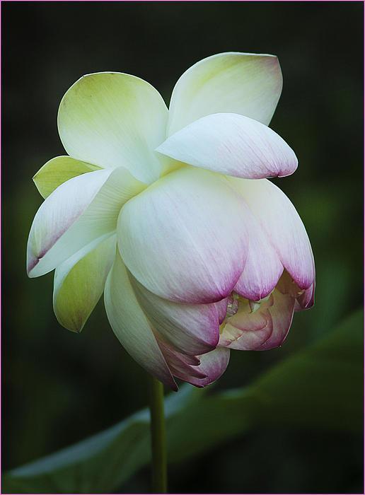 Shy Lotus Print by Jean Noren