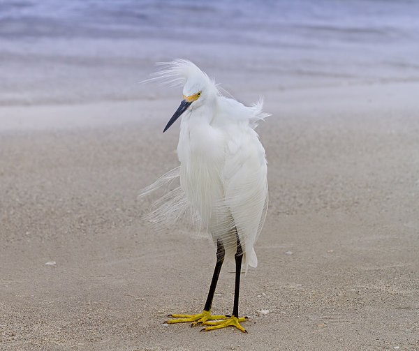 Kim Hojnacki - Snowy Egret at the Beach