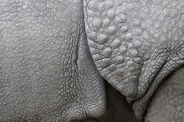 Structure Of The Skin Of An Indian Rhinoceros In A Zoo In The Netherlands Print by Ronald Jansen