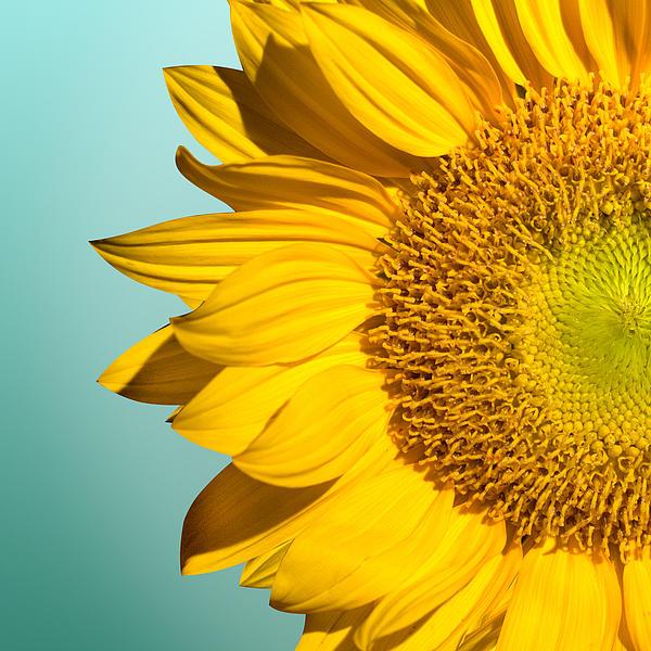 Mark Ashkenazi - Sunflower