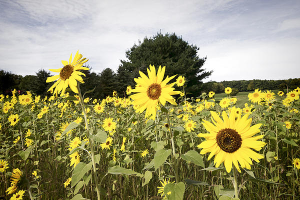 Sunflower Patch Print by Ray Summers Photography