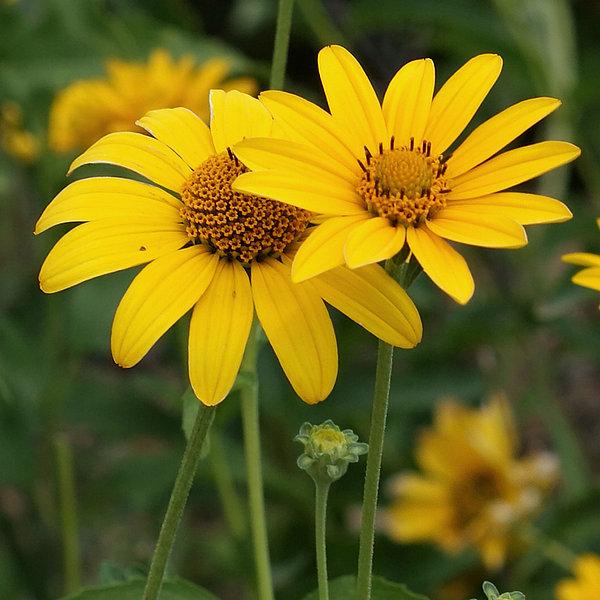 Ernie Echols - Sunflowers