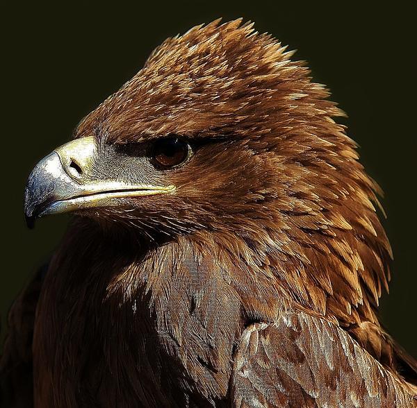 Tawny Eagle Print by Paulette Thomas