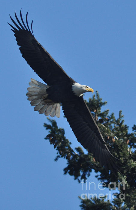 Brent Easley - Treetop Eagle