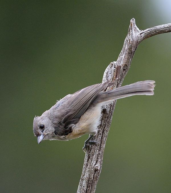 Tufted Titmouse Print by Todd Hostetter