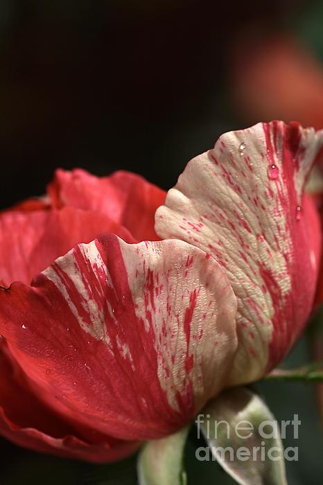 Two Toned Rose Print by Joy Watson