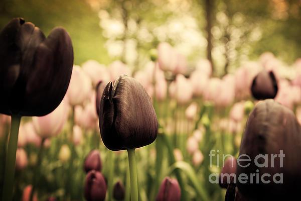 Unique Black Tulip Flowers In Green Grass Print by Michal Bednarek