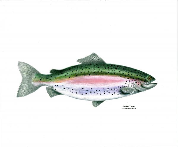 Wallace Brantley Sport Fishing Series Rainbow Trout Print by Sharon Blanchard