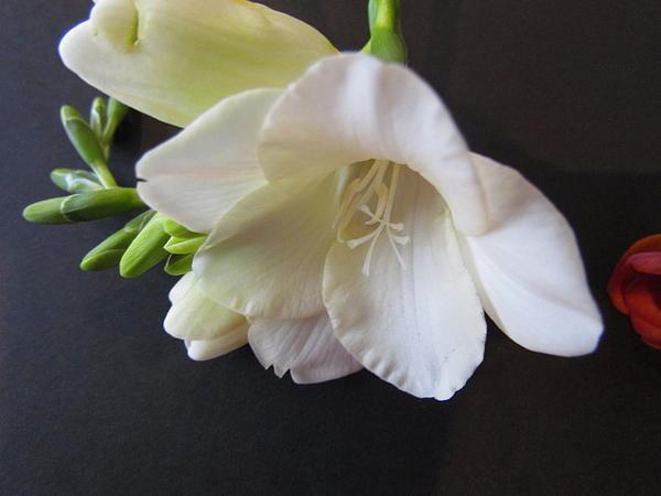Joyce Woodhouse - White Flower.