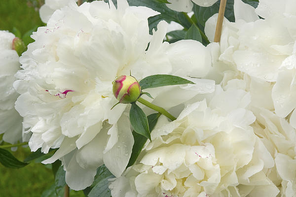 White Peony Flowers By Keith Webber Jr