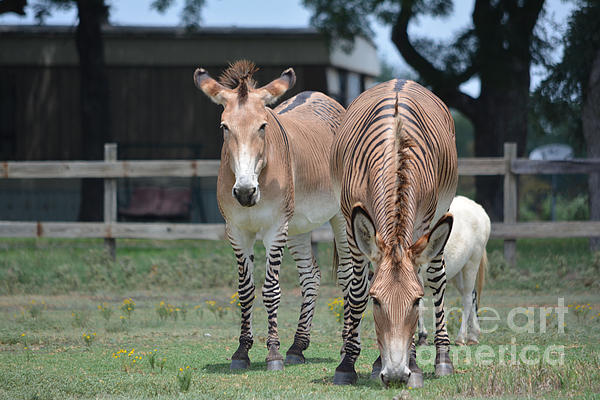 Ruth  Housley - Zebra Horses and Pygmy Horse