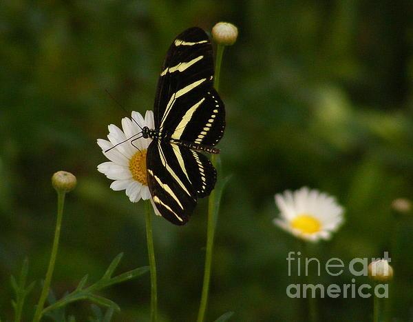 Marilyn Smith - Zebra Longwing Butterfly