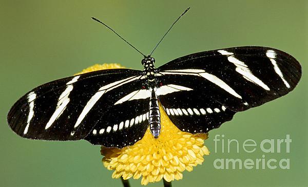 Zebra Longwing Butterfly Print by Millard H. Sharp