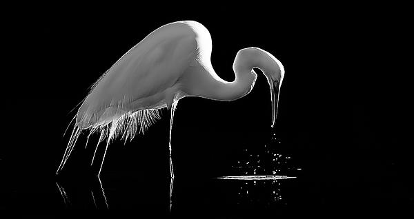 Great Egret Print by Bill Martin