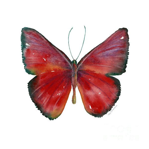 16 Mesene Rubella Butterfly Print by Amy Kirkpatrick