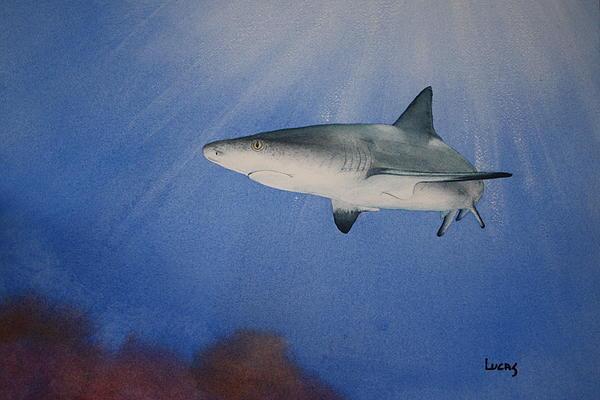 Caribbean Reef Shark 1 Print by Jeff Lucas