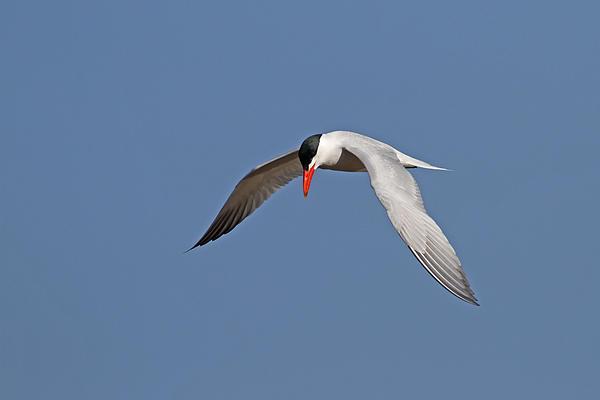 Caspian Tern Print by Jim Nelson