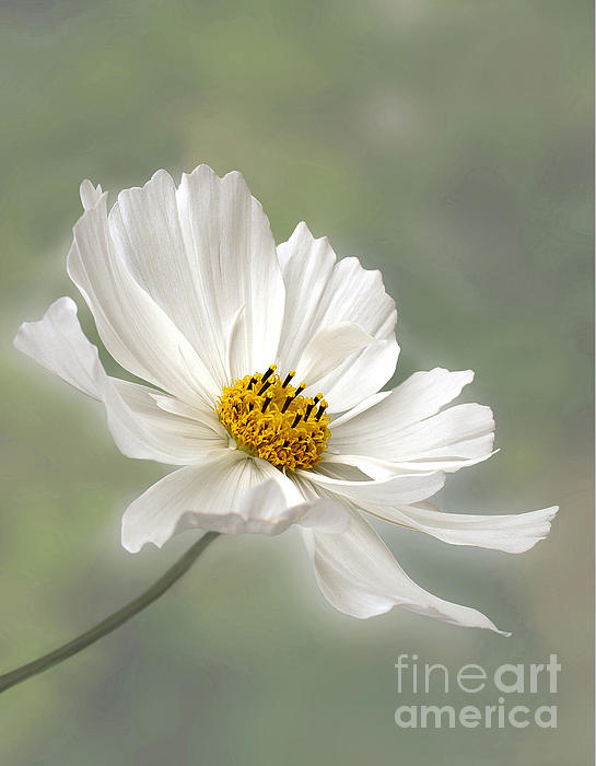 Kaye Menner - Cosmos Flower in White