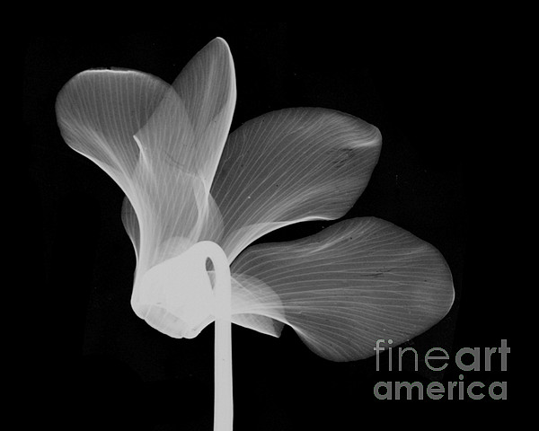 Cyclamen Flower X-ray Print by Bert Myers