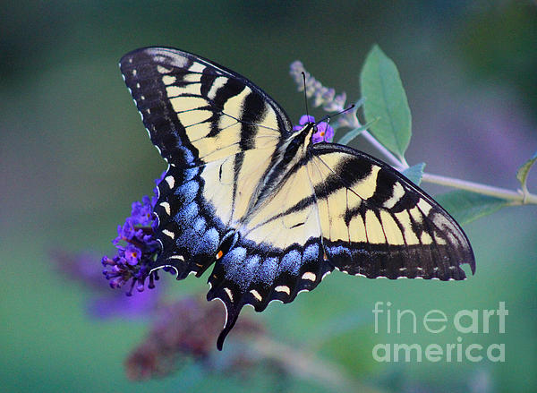 Karen Adams - Eastern Tiger Swallowtail Butterfly on Butterfly Bush