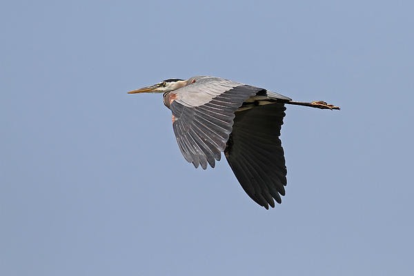 Great Blue Heron Print by Jim Nelson