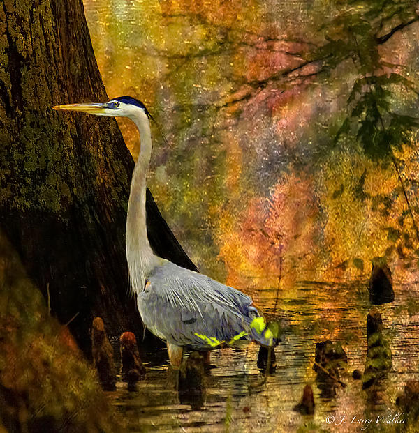 Great Blue Heron Slowly Fishing Print by J Larry Walker