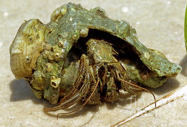 Green striped hermit crab