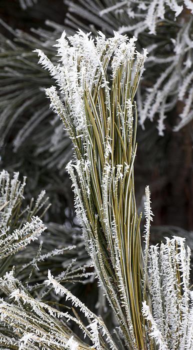 Hoar Frost Print by Steven Ralser