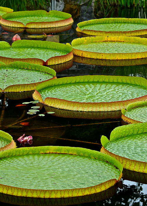 Lilly Pads Print by Frozen in Time Fine Art Photography
