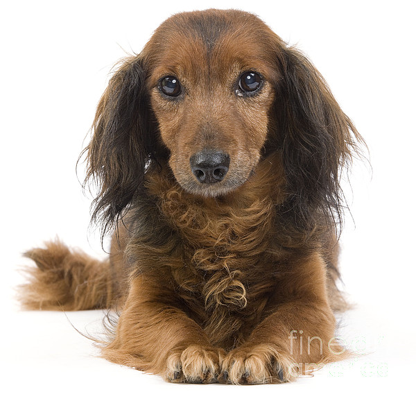 Long-haired Dachshund Print by Jean-Michel Labat